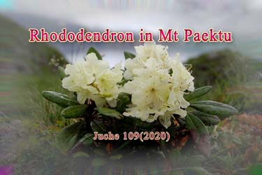 Rhododendron in Mt Paektu